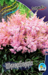 Astilbe Sugarberry