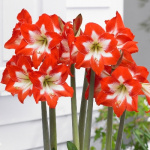 Hippeastrum Sonatini Eye Catcher 1