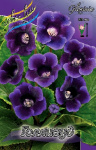Gloxinia Hollywood