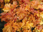 heuchera_amber_waves-400x300