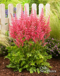 Astilbe Censation Salmon Beauty