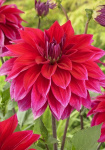 Dahlia Babylon Purple